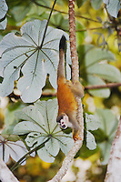 Central American Squirrel Monkey, Saimiri oerstedii , adult in Cecropia Tree, Manuel Antonio National Park, Central Pacific Coast, Costa Rica, Central America