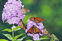 Monarch  (Danaus plexippus) butterflies on garden phlox (Phlox paniculata) flowers, summer, North America.