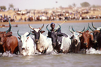 Peul (Fulani) herdsmen from Macina cross the Niger river with their cattle. This event, crossing the waters, recalls two myths: the ancestors of the Peul's journey from India, during which they crossed the Red Sea to reach Africa, and the origin of the cow, which, according to an African myth, sprang from the water..A very important ritual which, not by chance, coincides with Mali's national day (21.10).