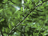 Coigue Nothofagus dombeyi (Height to 28m) is evergreen, but rather tender until well established. Bark of young trees is smooth and black, but becomes wrinkled and browner with age, with scales peeling away to leave red patches.