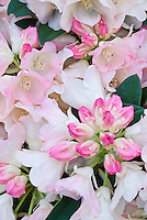 Rhododendron Dreamland with white pink flushed flowers and pink buds