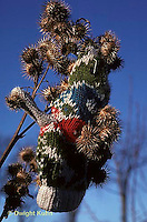 BD03-002a  Burdocks - burdock seeds on glove, seed dispersal - Arctium minus
