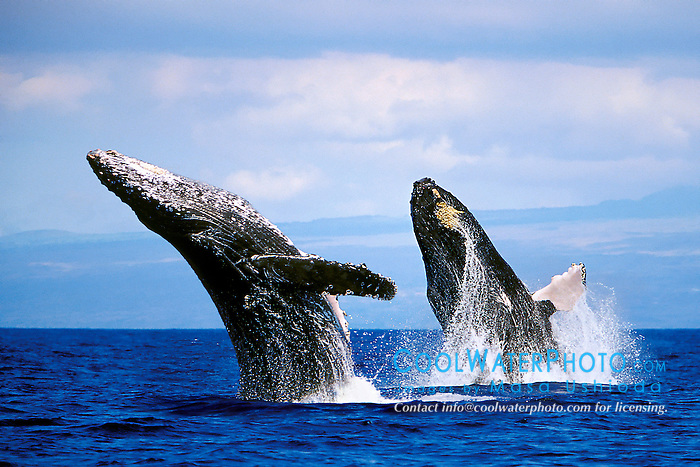 humpback whales, double-breach, Megaptera novaeangliae, Hawaii, Pacific Ocean (dc)