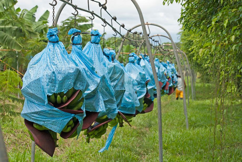 Bananen transportband op plantage, Costa Rica