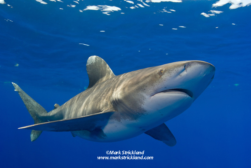 Oceanic White-tip Shark, Carcharhinus longimanus, among the few truly pelagic sharks. Bahamas, Atlantic Ocean