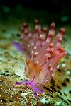 Flabellina rubrolineata