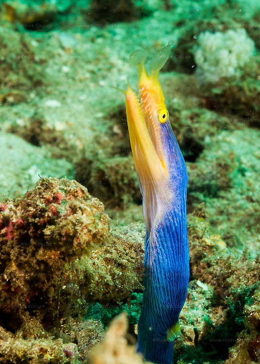 A blue ribbon eel cautiously waits for the photographer to make the next move -- whether to advance or retreat.