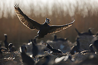 Cormorants, The Netherlands