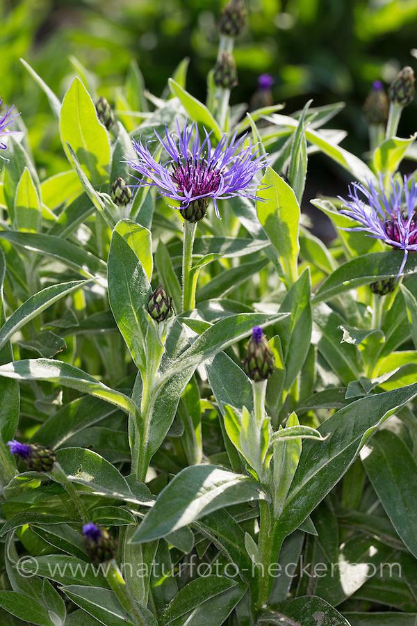 Berg-Flockenblume, Bergflockenblume, Centaurea montana, Perennial cornflower, mountain cornflower, bachelor's button, montane knapweed, mountain bluet, Mountain Bluets