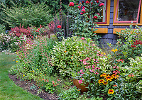 Vashon-Maury Island, WA: Summer perennial garden and potting shed featuring echinacea, rudbeckia, roses, sedum, persicaria and lilies