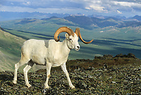 Dall sheep ram, Alaska mountain range, Denali National Park, Alaska.