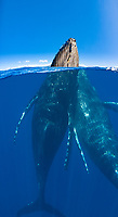 A split image of a pair of humpback whales, Megaptera novaeangliae, underwater and above, Maui, Hawaii.
