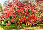 Japanese maple trees in autumn colour, Acer Palmatum, National arboretum, Westonbirt arboretum, Gloucestershire, England, UK