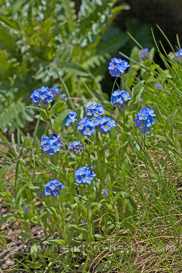 Alpen-Vergissmeinnicht, Myosotis alpestris, Alpine Forget-me-not, Le myosotis des Alpes