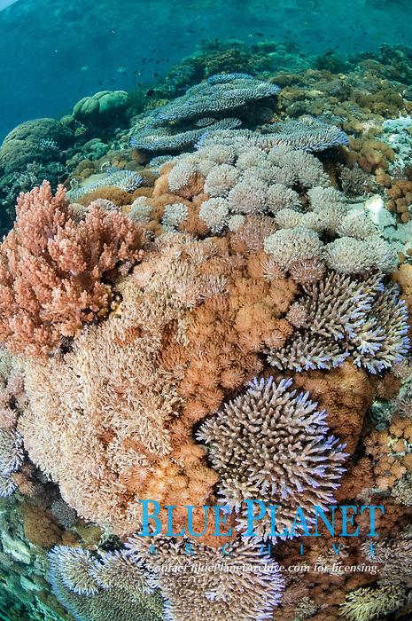 Corals on reef, Batu Pantar dive site, Pantar Island, near Reta Island, near Alor, Indonesia, Pacific Ocean
