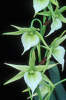 Angraecum Orchid Glade hybrid orchid in green and white flowers. Fragrant. Hybrid of sesquipedale, primary hybrid A. sesquipedale x A. eburneum