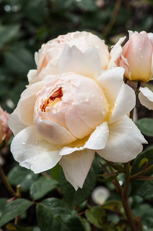 Rosa Jude the Obscure ('Ausjo'), early June. A shrub rose from David Austin, bred from 'Abraham Darby' and 'Windrush' and introduced in 1995. The flowers are pale apricot in the centre with creamy white outer petals.