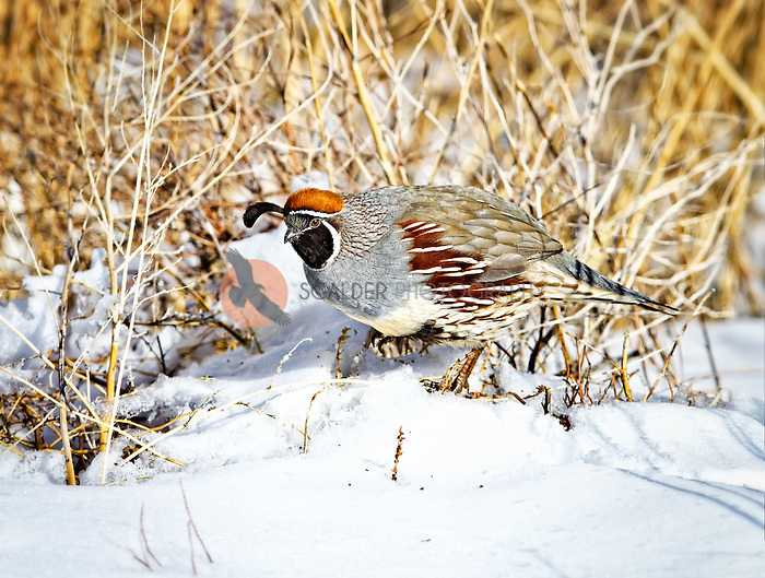 Male Gambel's Quail perched on the ground in snow in Bosque del Apache National Wildlife Refuge