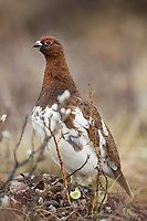 Male willow ptarmigan in spring plumage, Denali National Park, Alaska.
