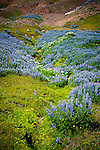 June 2016 - Siglufjordur, North Iceland -  Fields of lupine wildflowers flourish above Siglufjordur, North Iceland.