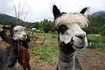 Alpacas at Arica Gardens B&B in the Slocan Valley