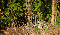 This female Jaguar (Panthera onça) just woke up from an extended nap on the bluff overlooking a river bank.  Amazing that she could sleep through the commotion of about 20 boats congregating below her, following her every snore with cameras.  The Pantanal, Brazil.