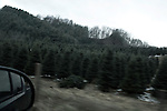 November 24, 2008. Ashe County, NC.. A field of Frazier firs, the highest quality Christmas tree type, waits cutting during the week leading up to Thanksgiving, the busiest for the Christmas tree farmers.. Ashe County, NC exports 2 million trees alone.