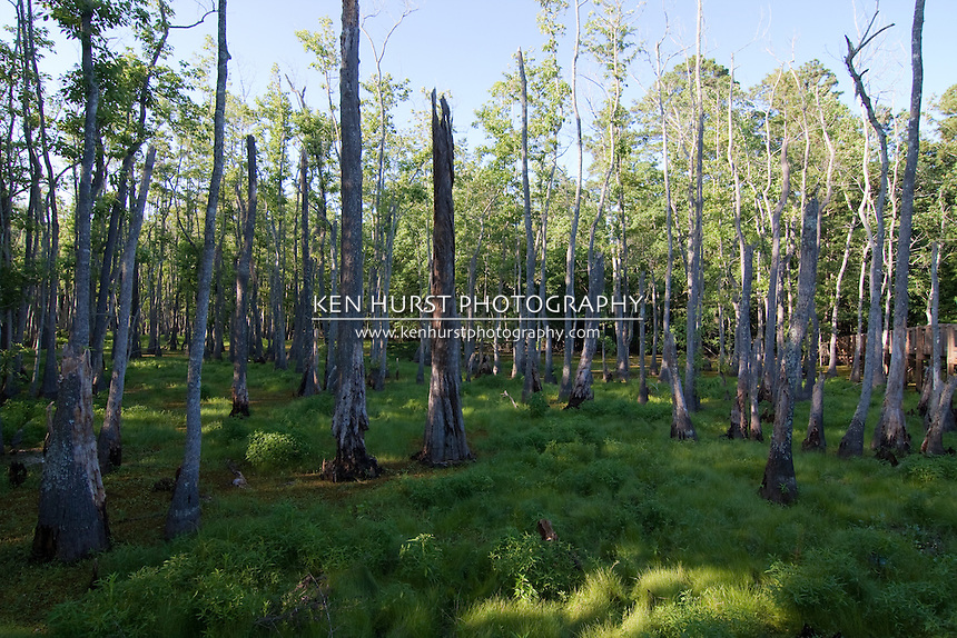 Majestic bald cypress trees (Taxodium distichum) rise from the swamp bogs at Sam Houston Jones State Park, Lake Charles, Louisiana.