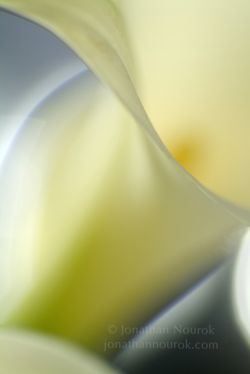 close-up of a white calla lily flower