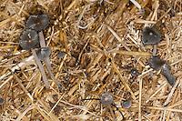 Struppiger Tintling, Struppiger Mist-Tintling, Aschgrauer Misttintling, Struppiger Dungtintling, wächst auf einem alten, feucht gewordenem Strohballen, Coprinus cinereus, Coprinopsis cinerea