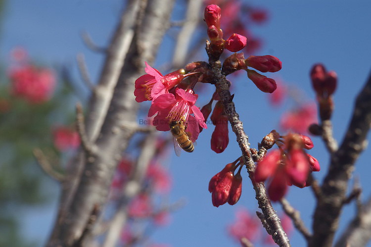 Cherry trees are one of the first trees to bloom in the spring so bees love them.