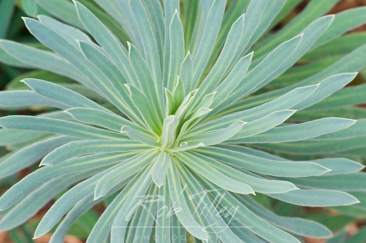 USA, WA, Bellevue, Bellevue Botanical Garden, Euphorbia Closeup