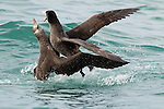 Northern Giant Petrel (Macronectes halli) pair fighting, Kaikoura, South Island, New Zealand, sequence 3 of 5
