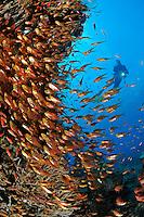 Parapriacanthus ransonneti, farbenpraechtige Schule von Glasfischen und Taucher, Yellow sleder sweeper, Bali, Indonesien, Indopazifik, Bali, Indonesia Asien, Indo-Pacific Ocean, Asia