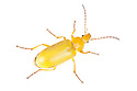 Sulphur Beetle {Cteniopus sulphureus}photographed on a white background in mobile field studio. Nordtirol, Tirol, Austrian Alps, Austria. August.