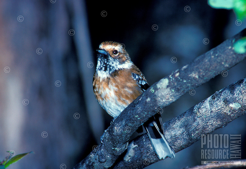 The native forest bird elepaio, (chasiempis sandwichensis). Found on Kauai, Oahu and Hawaii.