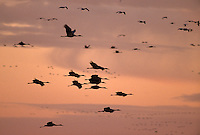 Sandhill Cranes (Grus americana) in flight.