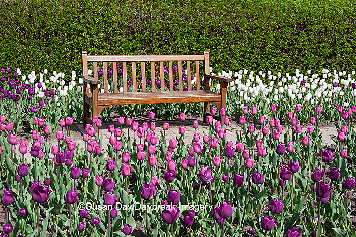 63821-21003 Bench in Tulips (Tulipa  'Negrita' (purple), 'Inzell' (White), and 'Mistress' (Pink) at Cantigny Gardens, Wheaton, IL