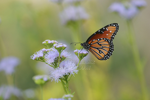 Queen (Danaus gilippus), adult feeding on blooming Gregg's Mistflower (Conoclinium greggii), Hill Country, Texas, USA