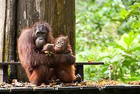 Orangutan, Pongo pygmaeus, with baby on feeding platform, Sepilok Orangutan Rehabilitation Centre, Sandakan, Sabah, Northeastern Borneo, Malaysia