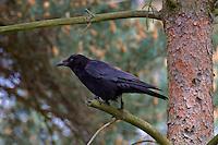 Rabenkrähe, Raben-Krähe, Aakrähe, Krähe, Corvus corone corone, Hooded Crow, Corneille noire