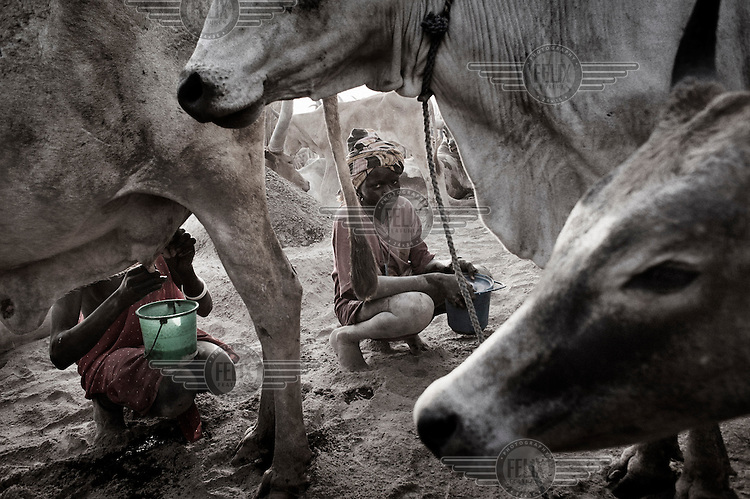South Sudan. 24 March 2011...The early morning milking, in a Dinka cattle camp near the Nile bank is children's duty..
