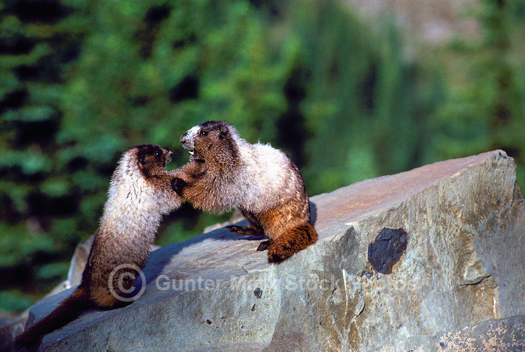 Two Young Hoary Marmots (Marmota caligata) playing on Rock in Sun, Manning Provincial Park, BC, British Columbia, Canada - North American Wildlife