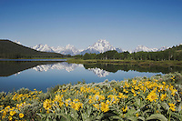 Arrowleaf Balsamroot (Balsamorhiza sagittata) and Grand Teton range, Oxbow Bend, Grand Teton National Park, Wyoming, USA