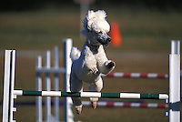 Standard Poodle competing at an agility trial in Gloucester, Virginia