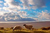 Moors sheep on Blakey Ridge, North Yorkshire Moors National Park, England.