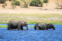 Two yound elephants crossing a small channel of the Chobe River in Chobe National Park, Botswana.