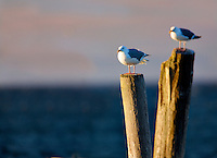 Seaguls on old pier posts. Near Sequim Washington.