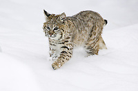 Young Bobcat walking through the snow - CA