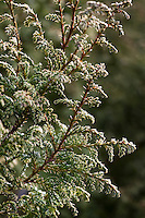 Foliage of evergreen conifer shrub, Sawara False Cypress, Japanese False Cypress - Chamaecyparis pisifera 'Snow' in San Francisco Botanical Garden